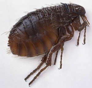 A Flea Close Up