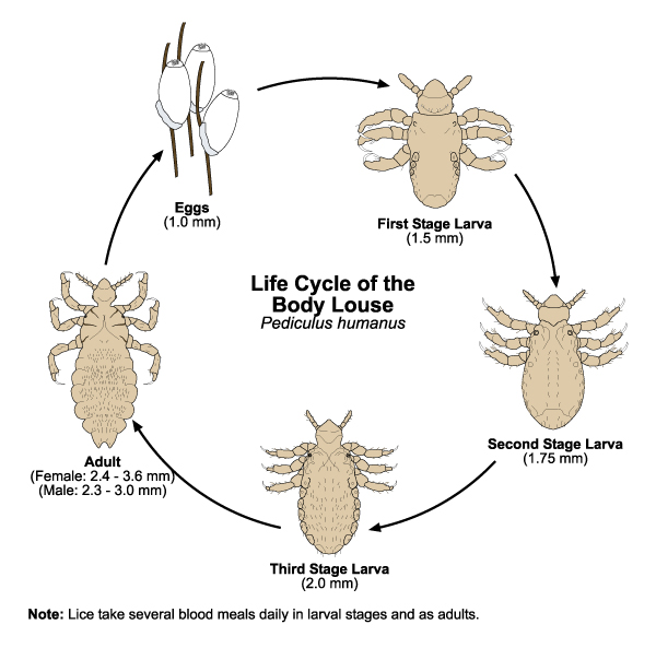 The Head Lice Lifecycle