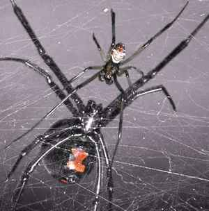 Black Widow Spider Pictures