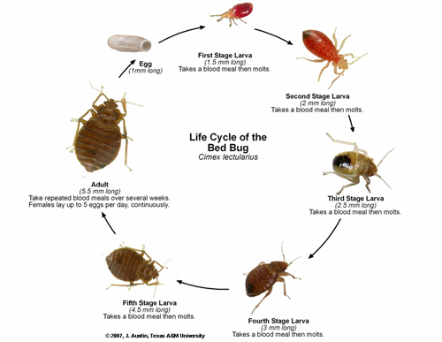 Bedbug Life Cycle