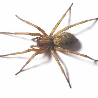 The Hobo Spider Life Cycle