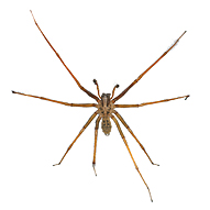 Hobo Spider Bites and Effects