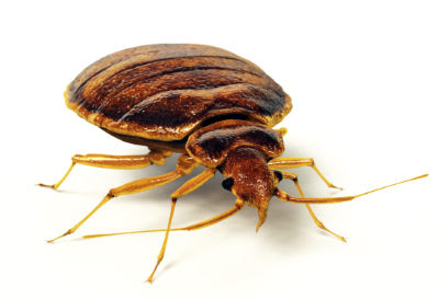 What Do Bedbugs Look Like?